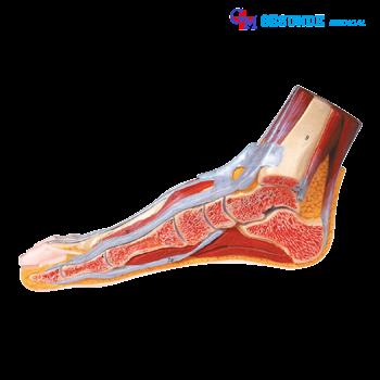 alat peraga jaringan kaki bagian dalam