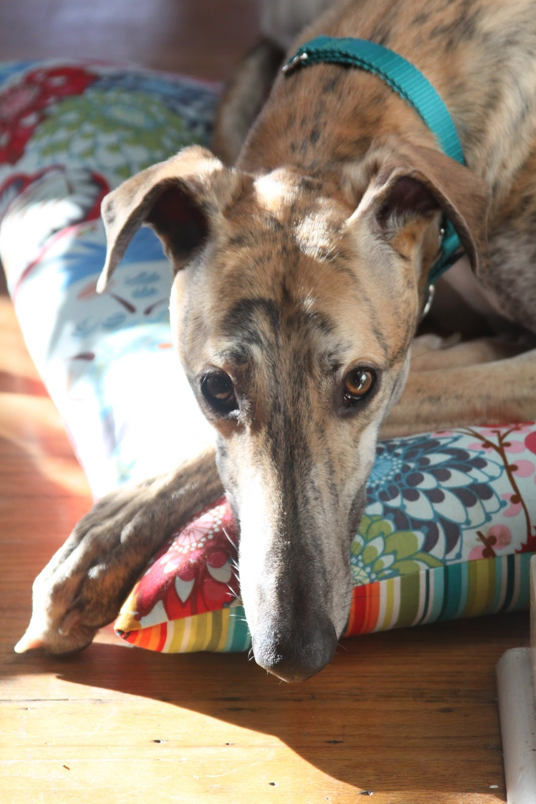 red brindle greyhound, My Giant Strawberry, Anne Butera