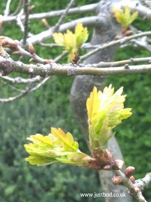 Oak Leaves Unfurling, Spring