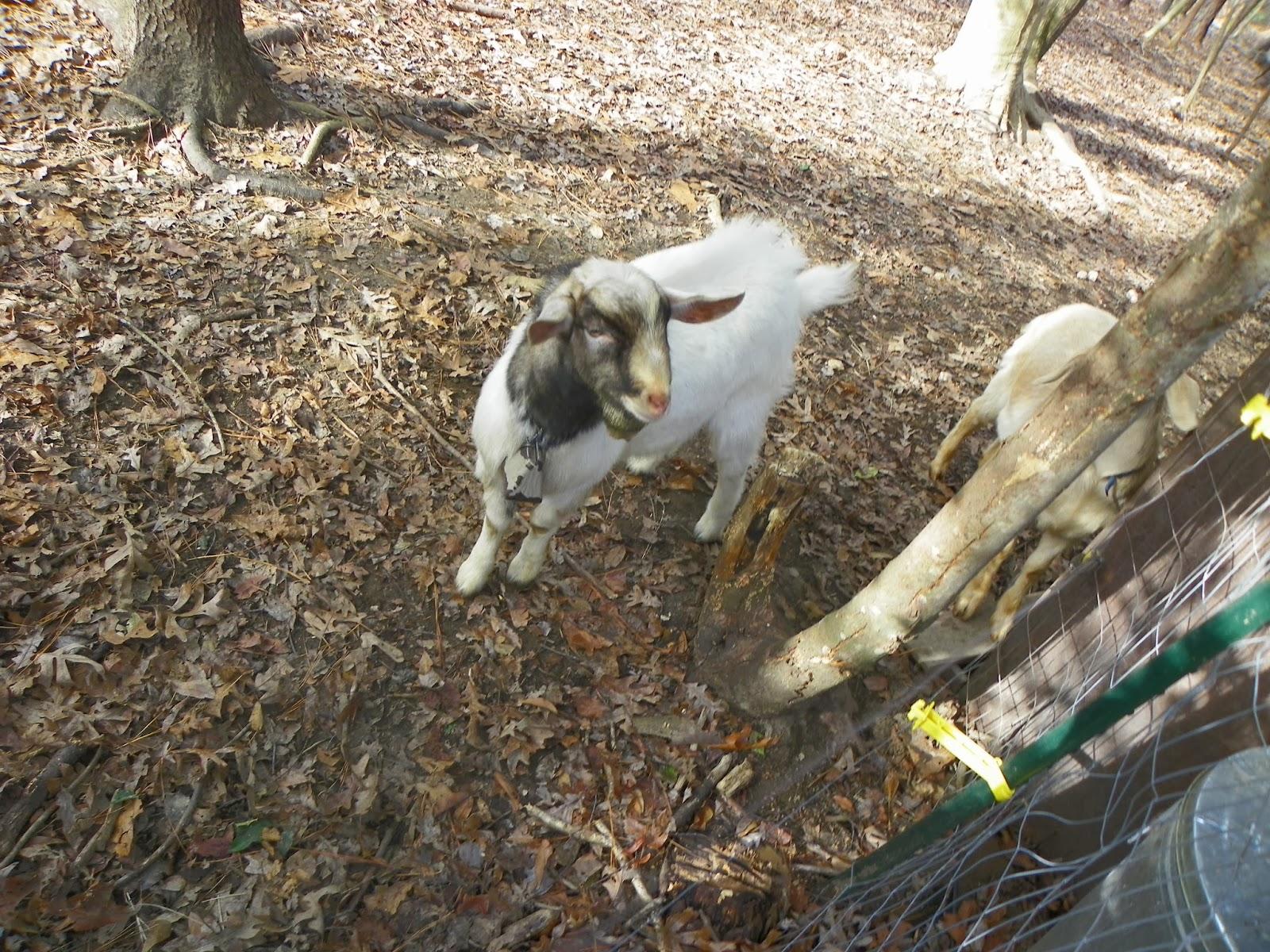 goat pee male