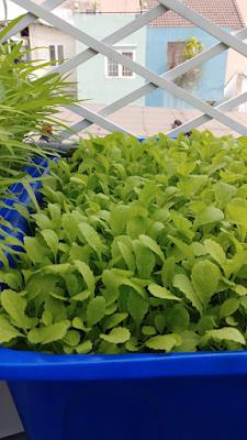 trồng rau sân thượng