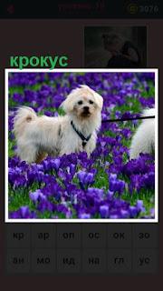 стоит белая собака среди синих цветов крокус на поводке
