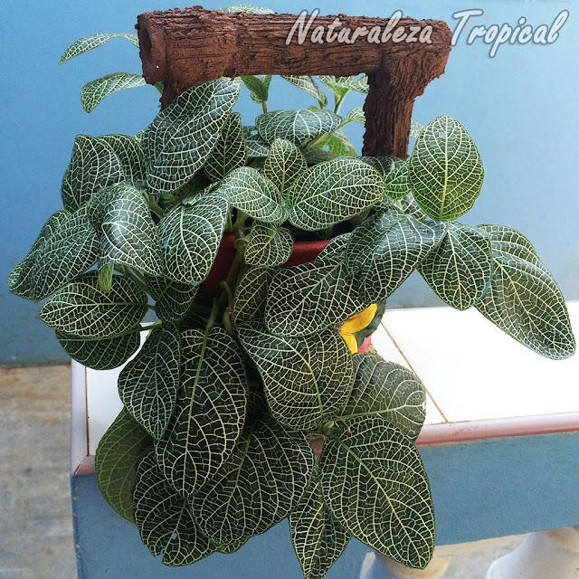 Las Fitonias son plantas de interior por excelencia, género Fittonia
