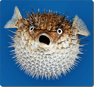 Porcupine Fish Facts