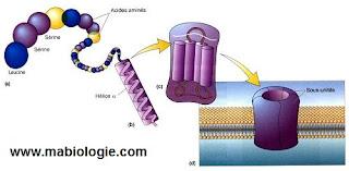 Quel est le rôle des protéines membranaires ?