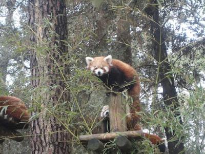 zoo palmyre charente maritime  panda