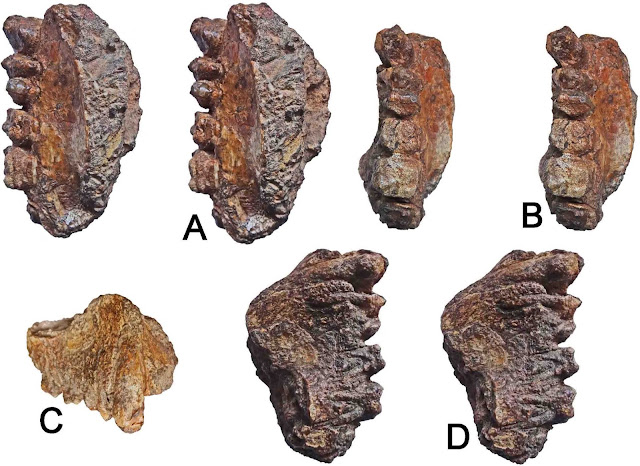 Late Miocene ape maxilla discovered in western India