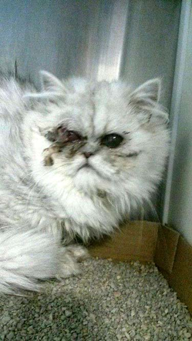 Doll Face Persian Kittens For Sale, Teacup Persian Kittens