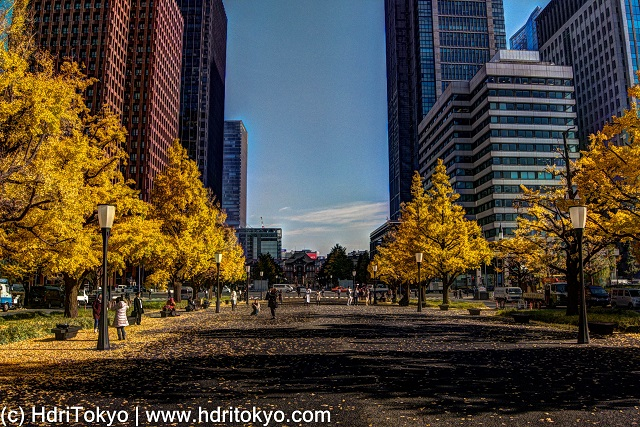 ginkgo trees along a wide street. those ginkgo trees have bright yellow leaves.  tall buildings both side of the street.