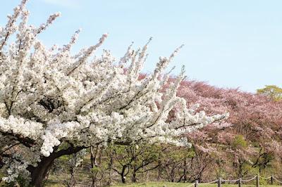 Melihat Sakura di Negishi Shinrin Park Yokohama