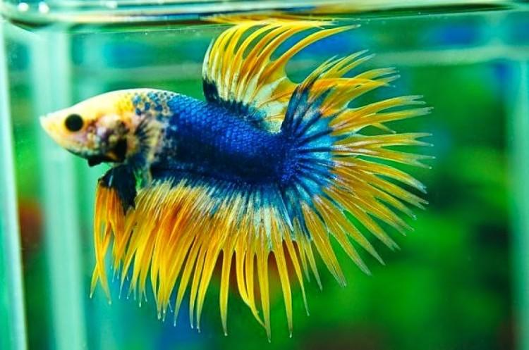Macam Dan Jenis Ikan Cupang