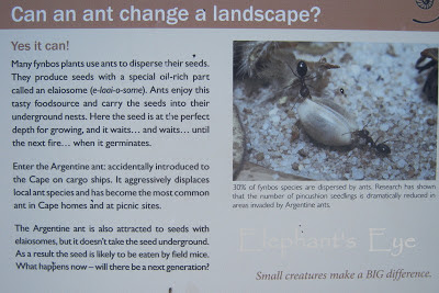 Ants have a particular role to play in fynbos ecology
