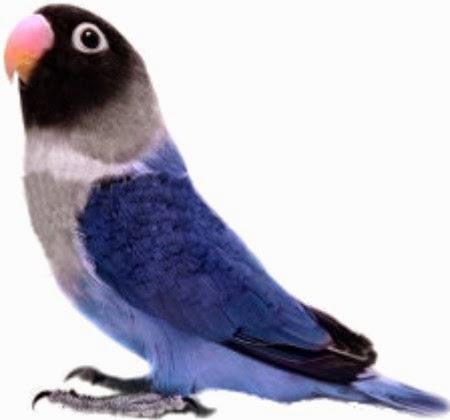 CARA TERHEBAT ............Pengobatan dan pencegahan pada burung paruh bengkok CP. 085647213500 - Pin . 7F865D6D  Belum lama ini ribuan lovebird liar di Arizona, Amerika Serikat, terserang psittacosis yang menyebabkan kematian pada burung-burung yang terinfeksi. Psittacosis / parrot fever merupakan salah satu jenis penyakit yang perlu diwaspadai. Sekadar berjaga-jaga, berikut ini panduan untuk CP. 085647213500 - 7F865D6D