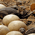 Pesquisadores descobrem ovos de dinossauro com mais de 130 milhões de anos ''intactos''