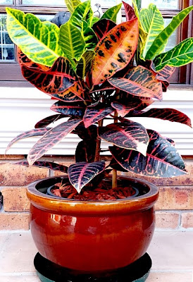 Croton Plant in pot