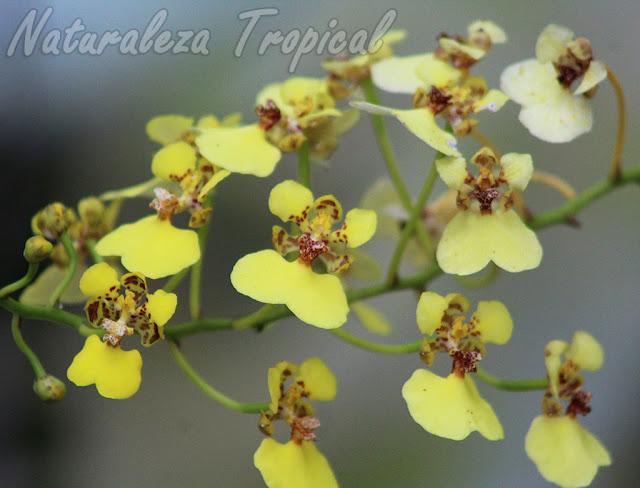 Flores típicas de la orquídea Chelyorchis ampliata