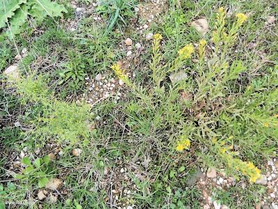 Κόνυζα: Το φυσικό φυτικό εντομοκτόνο