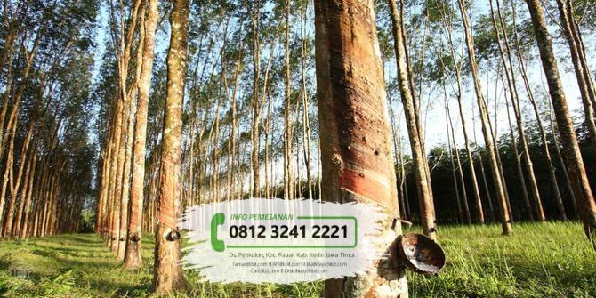Jual Bibit Pohon Manglid