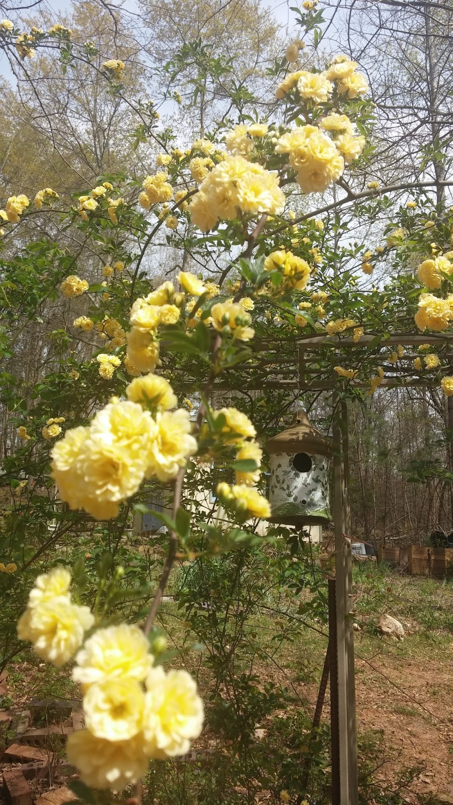 Roses In Garden: Lingering Shade: Lady Banks Rose Growing