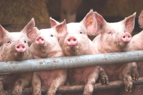 alasan ilmiah tidak memakan babi