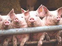 Ngeri!! Ini Alasan untuk tidak Mengkonsumsi Daging Babi, Tonton Video ini