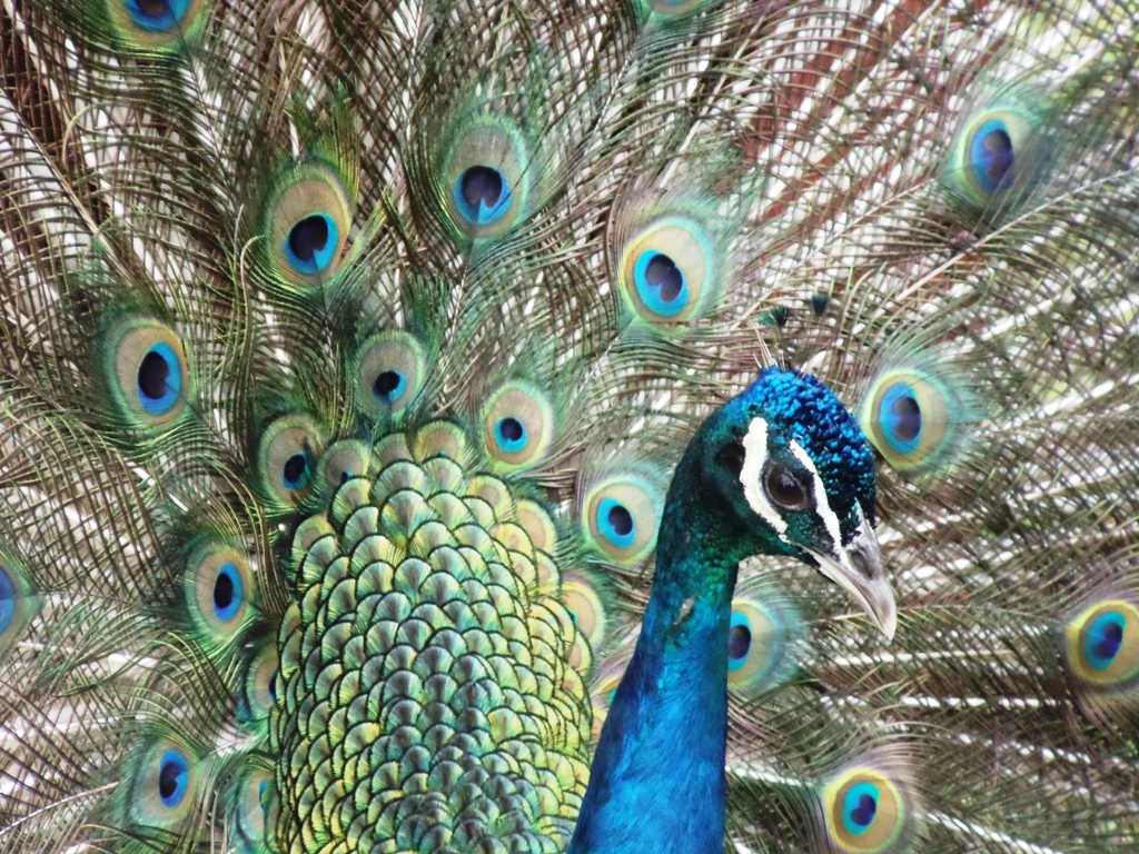 peacock with open feathres at Kidwell Farm