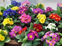 цветы, примулы, уход за примулой