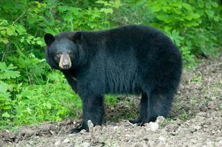 Bear, Black Bear, Bear Hunting