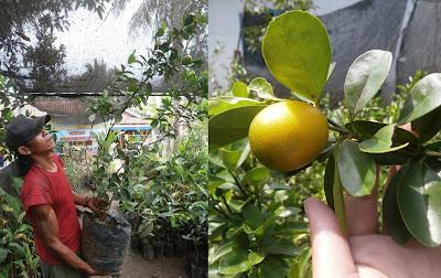 jual bibit jeruk kintan | jeruk kintan unggul | manfaat jeruk kintan | budidaya jeruk kintan | keunggulan jeruk kintan