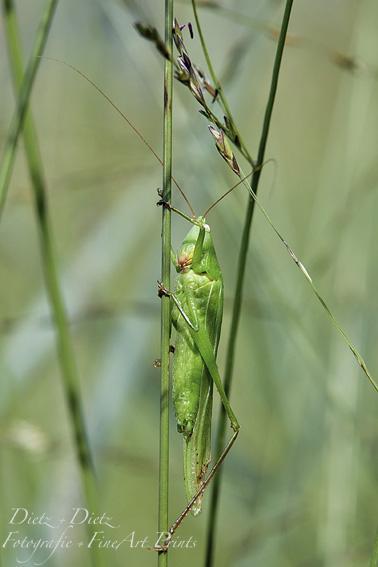 Grosse Schiefkopfschrecke (Ruspolia nitidula)