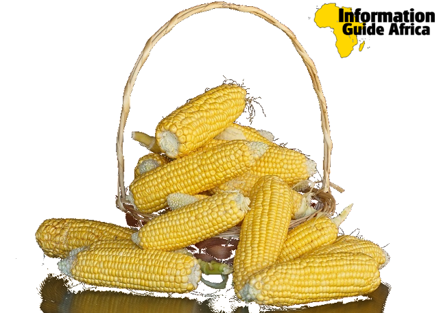 Maize | Definition, History, Uses, Health Benefits And Amazing Facts