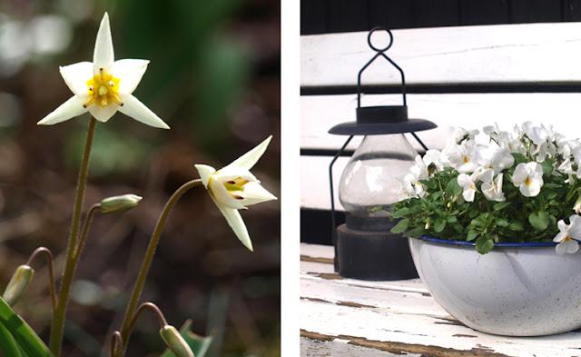 Tulipan turkestanica i bede og hvide hornvioler på bænken