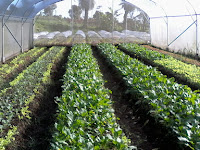 Dahsyatnya Keunggulan Dari Plastik UV Untuk Greenhouse