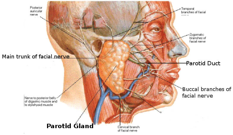 Science, Natural Phenomena & Medicine: Parotid Gland