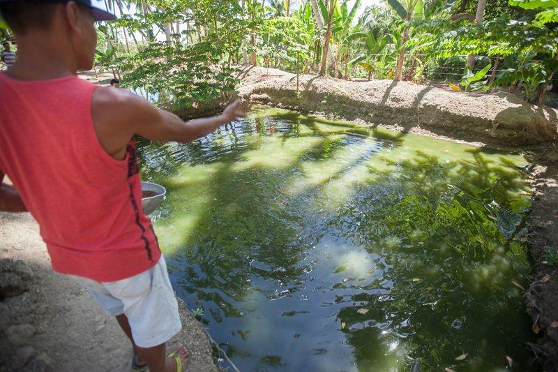 Pemberian Pakan Ikan Nila