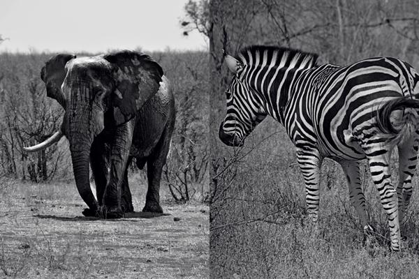 Elefantenbulle mit nur noch einem stoßzahn und ein zebra