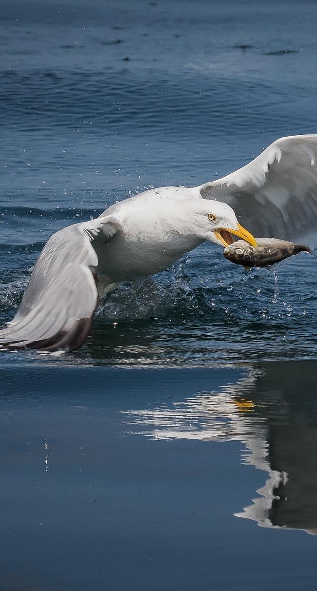 Amazing seagull fish capture.