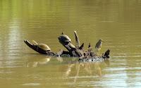 Wasserschildkröten - Tortoises