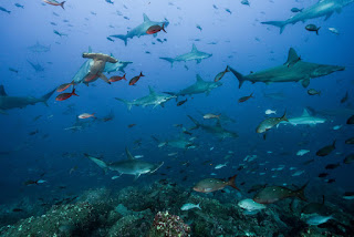 shark highway, cocos island, galapagos islands, sharks