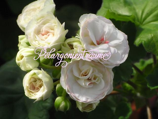 cremefarbene-Pelargonie-Porzellanblüten