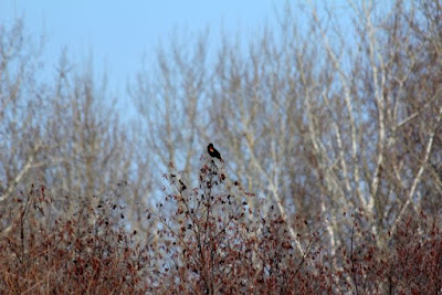 recent arrival, red-winged blackbird