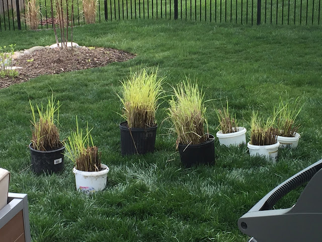 ornamental grass divided in buckets