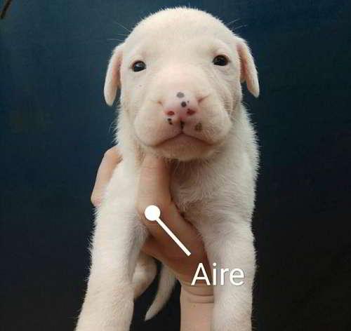 cachorros dogo argentino 4