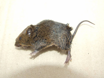 Blackish Grass Mouse