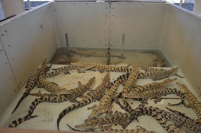 hatchling crocodiles