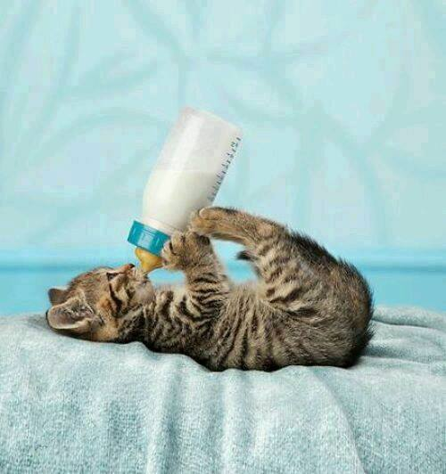 Animals, Cats, The milk time