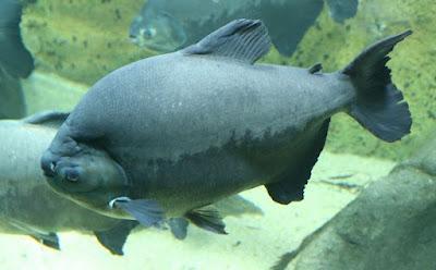 Black Pacu Si Ikan Hitam Bergigi Manusia Dari Amazon