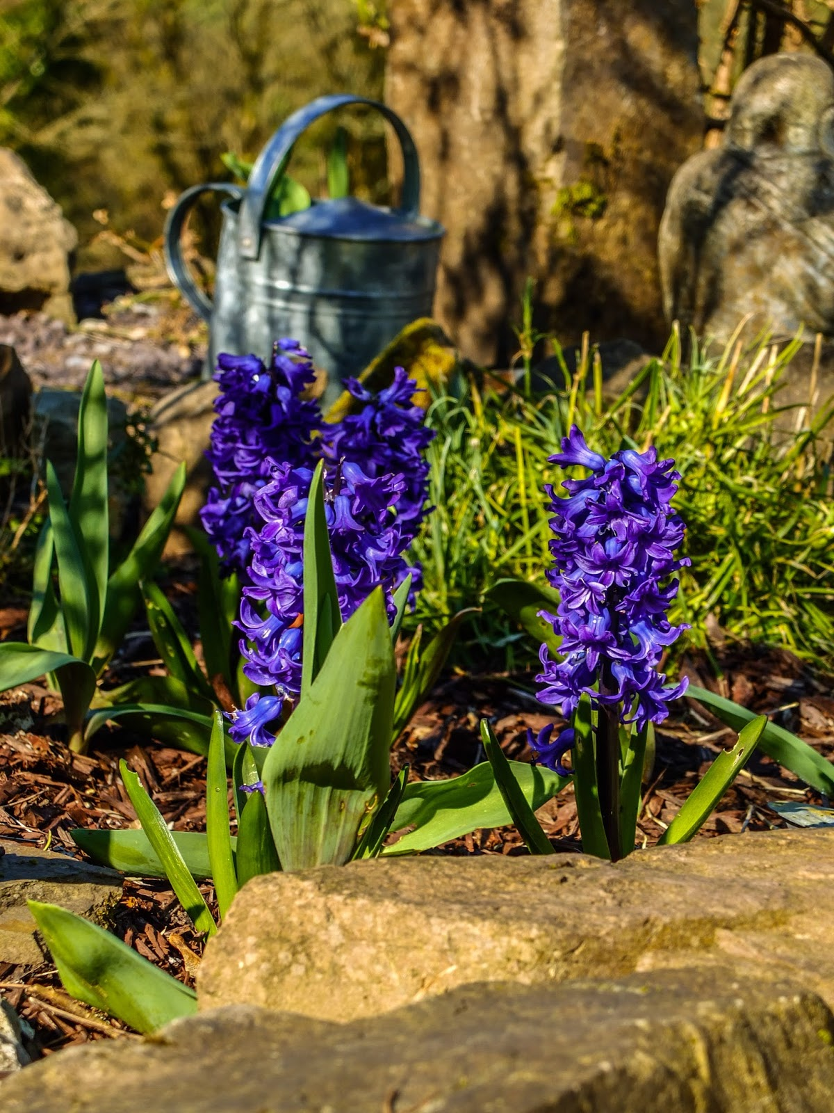 Purple Hyacinths pictured in the morning sunlight in a rockery.