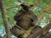 Kanguru Pohon, Hewan Endemik Papua, Tercipta Karena Kesalahan Alam