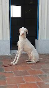 Poligar hound